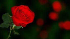 Red rose bokeh. Bokeh background decoration royalty free stock image