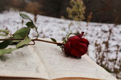 Red rose on the book stock photo