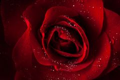 Red rose from Boquete Royalty Free Stock Photos