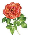 Red rose  botanical watercolor Royalty Free Stock Photo