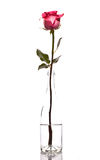 Red Rose  in a bottle Stock Images