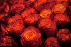 Red rose. Bouquet of red-orange rose Stock Image