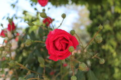 Red rose and bourgeons Royalty Free Stock Image