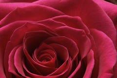 Red rose braking bud Stock Image
