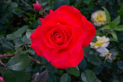 Red rose on the branch. In the garden royalty free stock photography