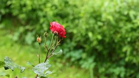 Red Rose on the Branch in the Garden stock video