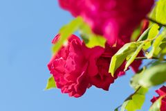 Red rose with branch isolated on blue background.  royalty free stock images