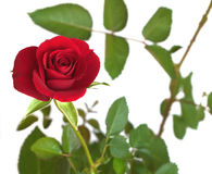 Red rose on branch with many green leaves isolated Stock Photos