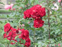 Rose red. Red rose on the branch in the Park, Bush Stock Photography