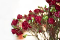 Red Rose on the branch for valentine day background.  royalty free stock image