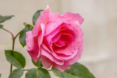 Red rose brazilian royalty free stock image