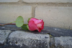 Red rose on the bricks royalty free stock photography