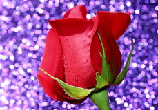 Red Rose. A bright red rose with a sparkling purple background stock photos