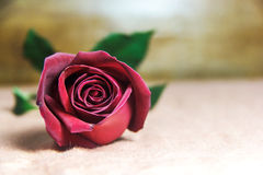 Red Rose bruising  on a brown cloth background. Stock Photos