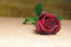 Red Rose bruising  on a brown cloth background. Royalty Free Stock Images