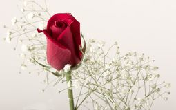 Red rose bud. Single rose bud with filler flowers stock image