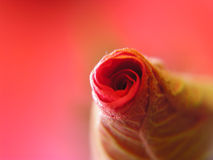 Red rose bud Royalty Free Stock Photos