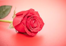 Red Rose Bud Royalty Free Stock Photography