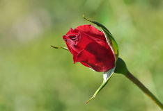 Red rose bud Stock Photography