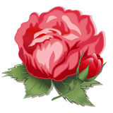 Red Rose and Bud. Single blooming red rose and rose bud on white background Stock Photo