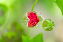 Red rose bud in the blossom garden Stock Photo
