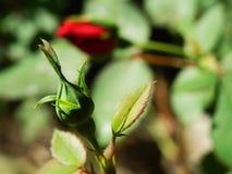 Red rose bud on bush. Rose bud on sunlit garden bush Royalty Free Stock Image
