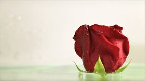 Red rose bud in clear water stock video