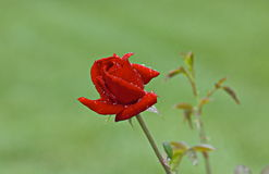 Red Rose bud covered with raindrops Stock Image