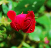 Red Rose bud with dew Royalty Free Stock Photos