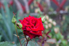 Red rose bud in garden Royalty Free Stock Photo