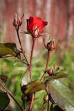 Red rose bud  in garden Royalty Free Stock Photos
