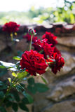 Red rose bud in garden Royalty Free Stock Photography
