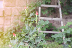 Red rose bud. In a garden with ladder background stock image