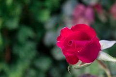 Red rose bud in the garden over natural background stock image