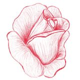 Red rose bud hand drawn illustration. Red rose hand drawn illustration, sketch of rose bud Stock Images