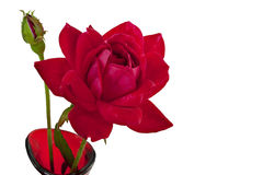 Red rose and bud isolated on white Royalty Free Stock Image