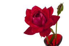 Red rose and bud isolated on white Royalty Free Stock Photography