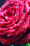 Red rose bud macro drop Royalty Free Stock Photo