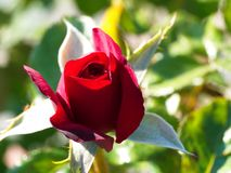 Red rose bud. Macro shot of garden and ornamental flowers, back, yard, bloom, leaf, plant, weed, green, area, nature, close-up, pollen, powder, beauty, sew stock image