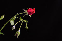 Red Rose Bud Royalty Free Stock Images