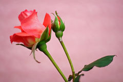 Red rose and bud and pink background royalty free stock image