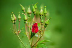 Red rose bud. In rain Stock Images