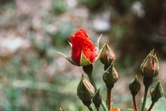 Red Rose Bud With Raindrop - Photograph of a single red rose bud royalty free stock image