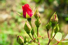 Red Rose Bud With Raindrop - Photograph of a single red rose bud stock photo