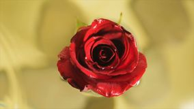 Red rose bud in clear water stock footage