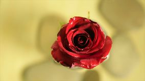 Red rose bud in clear water stock video footage