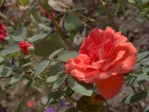 Red rose with buds. On the background of green leaves Royalty Free Stock Photos