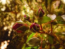 Red rose buds on a blurred background, close-up Stock Photo