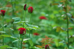 Red Rose Buds Royalty Free Stock Image