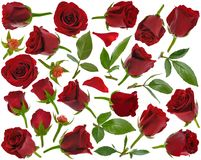 Red rose buds leaves and petals at various angles on white backg Stock Photo